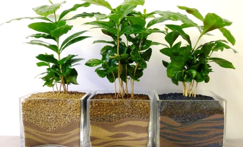 Как выращивать комнатное растение кофе арабика в домашних условиях